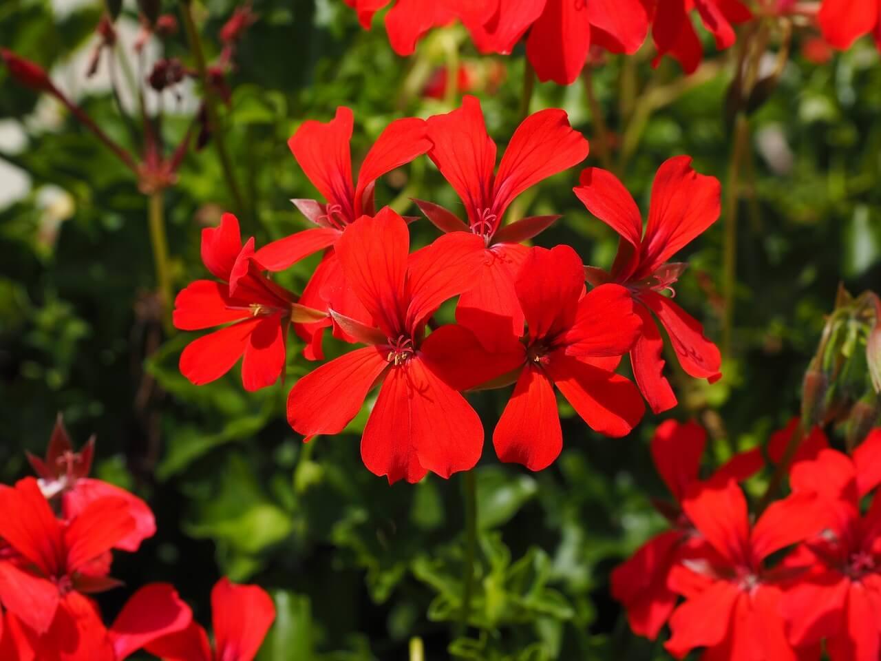 gerenium-indoor-plants
